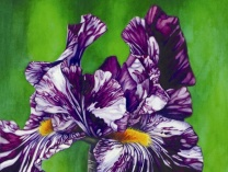 A photo of Purple Zebra Iris