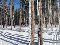 Photo of Red Pines